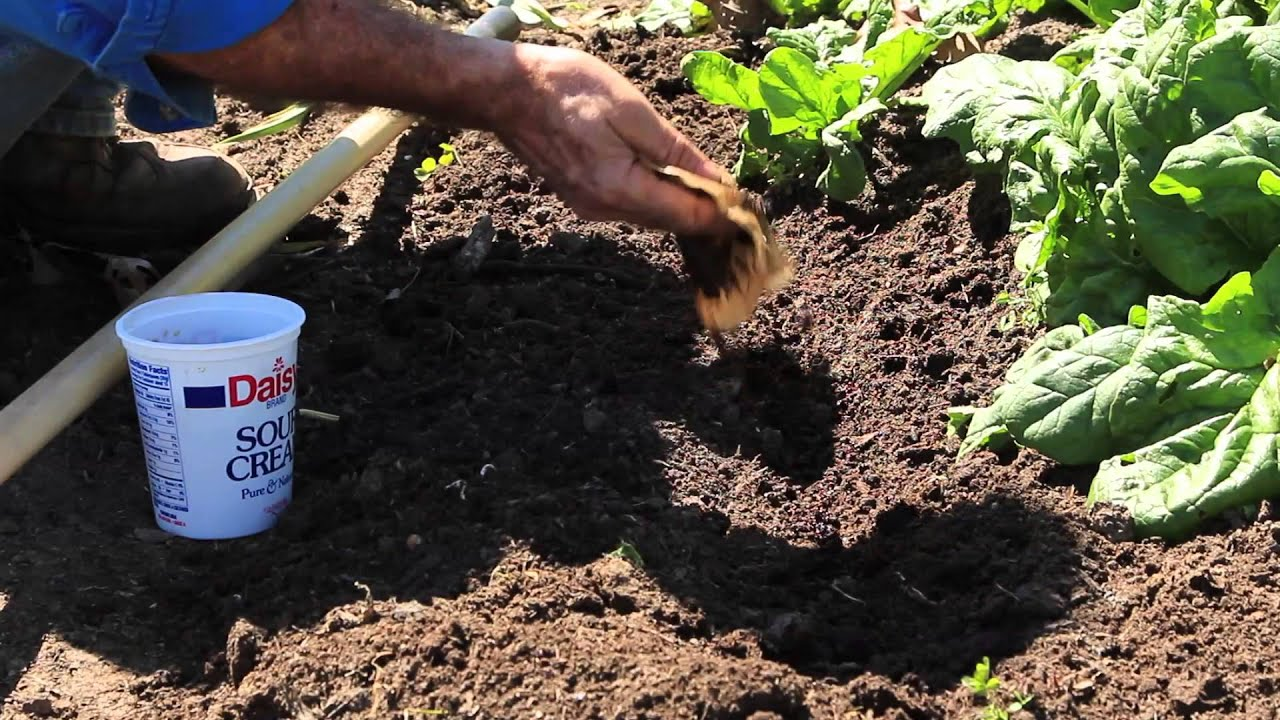 How to add coffee grounds to your vegetable garden soil gardening advice youtube for How to use coffee grounds in garden