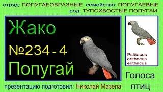 Жако серый попугай. Голоса птиц
