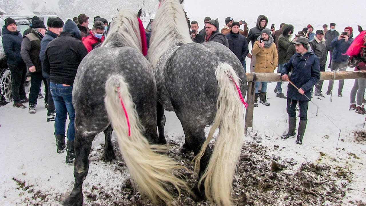 Download Caii D-lui Grigore Tomut din Suceava Video cu cai frumosi 2021
