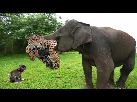 Elephant Of The God, Power Of Mother Animals - Wildebeest Protect Newborn From Cheetah Hunting