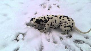 Dalmatian Dog In Zagreb Hunting Field Mouse