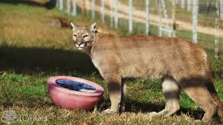 Cougars Marissa and Louisa React to Mirror Enrichment at Turpentine Creek Wildlife Refuge