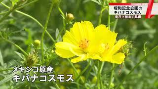 キバナコスモスが見頃 東京・昭和記念公園 thumbnail