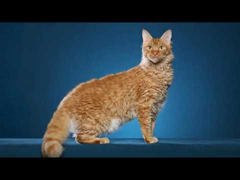 LaPerm - interesting cat breed