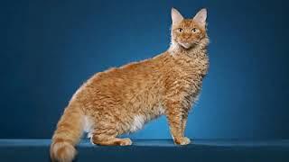 LaPerm  interesting cat breed