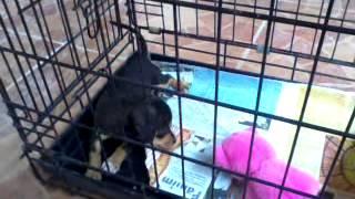 Max- My Chihuahua X Dachshund