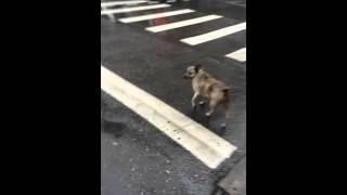 信号を知ってる台湾犬.
