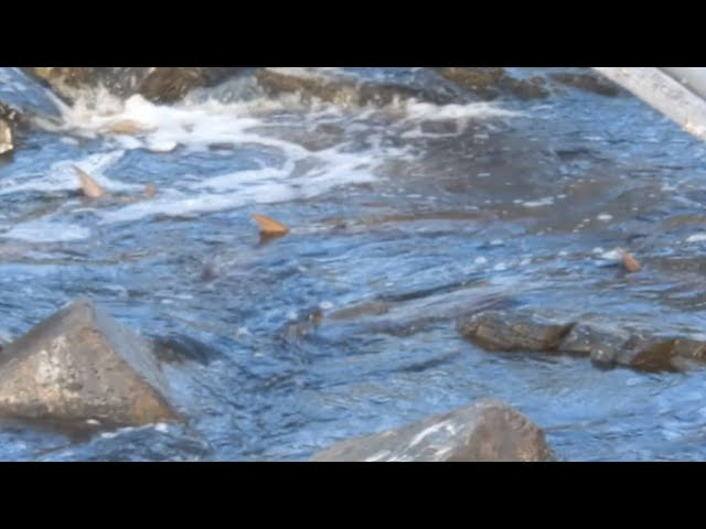 Sturgeon in the Rapid River at Clementson Rapids