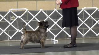Brownie And Cairn Terrier Breed Ring Puyallup January 11, 2014