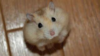 Милые Веселые Хомячки! / Funny Hamster 2015