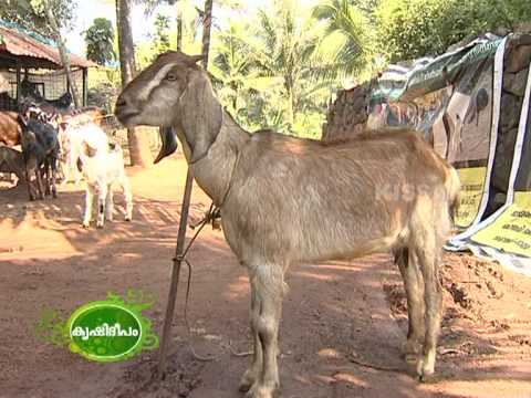 Success story of an enterprising youth engaged in goat rearing.Has a variety of breeds of goat.