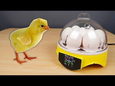 Распаковка Инкубатора из Китая! Цыплята из магазинных яиц. Новый эксперимент! alex boyko