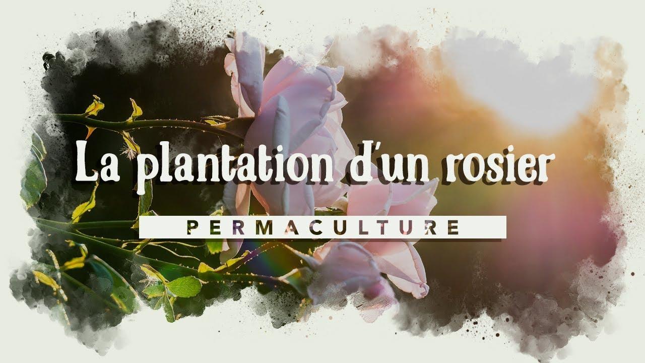 La plantation d'un rosier : COMMENT BIEN LE PLANTER ...