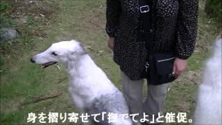 鳥取市うえき村ドッグランでボルゾイミーティング.