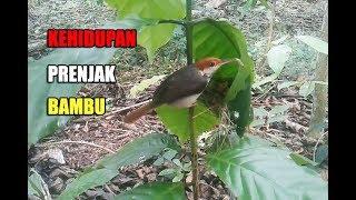 Perjuangan burung Prenjak bambu membesarkan anaknya di dalam sarang