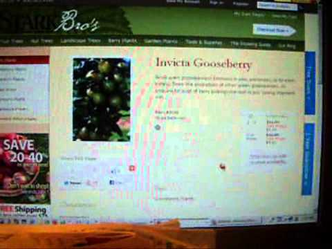 Delicious Gooseberries!