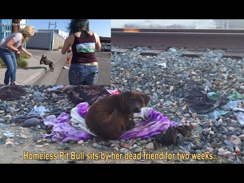 Homeless Pit Bull sits by her dead friend for two weeks... en streaming