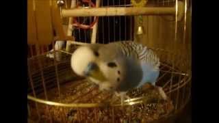 Балованный попугай