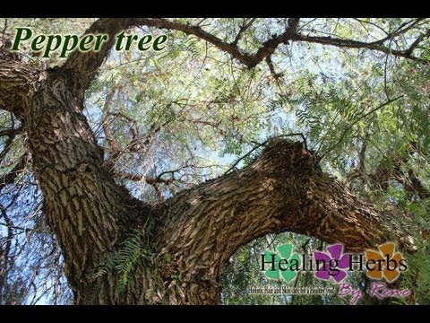California Peruvian Pepper Tree (Schinus Molle) Pirul Tree *Medicinal-Spiritual Benefits*