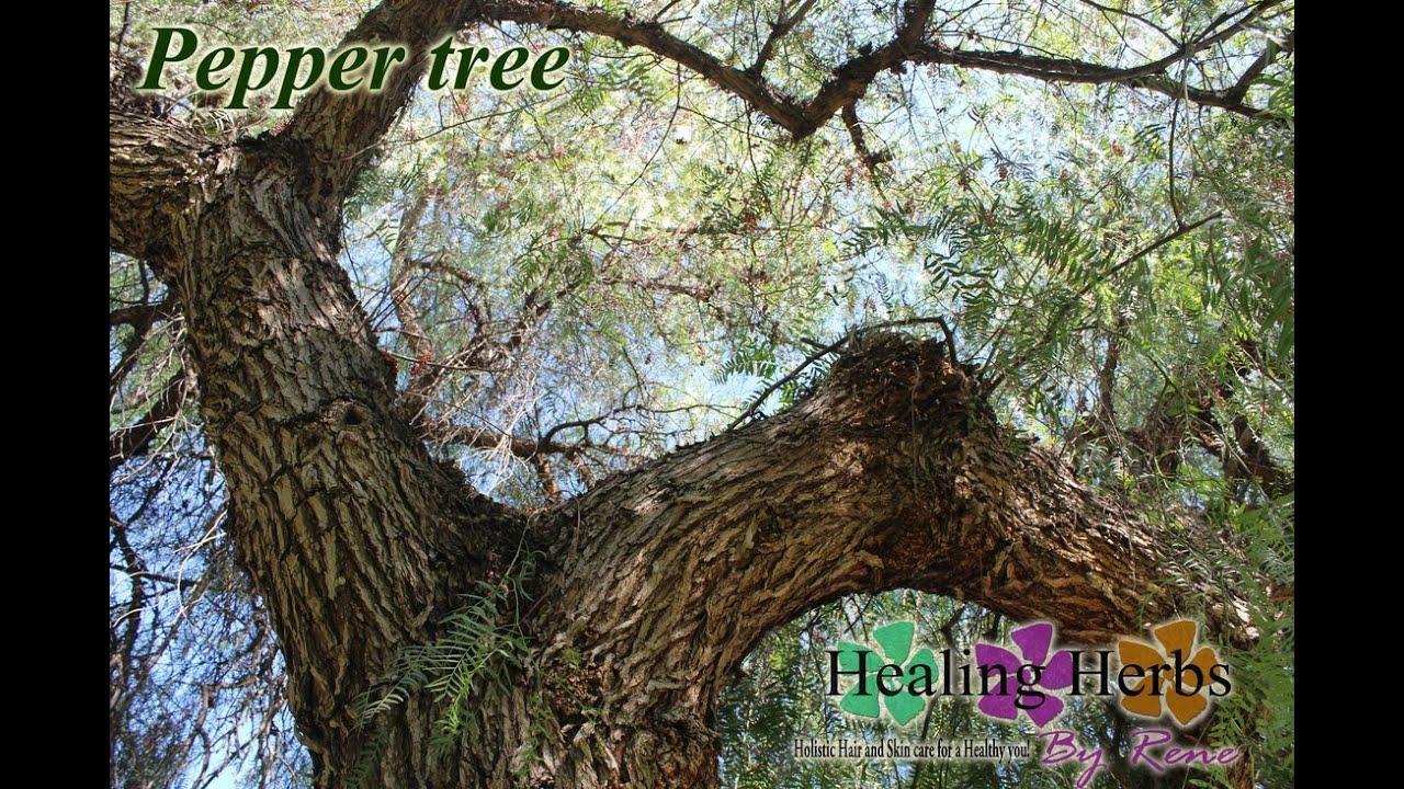 California Peruvian Pepper Tree Schinus Molle Quot Edible