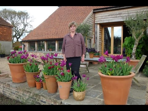 How to grow tulips in container pots