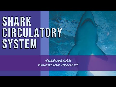 The Shark Circulatory System