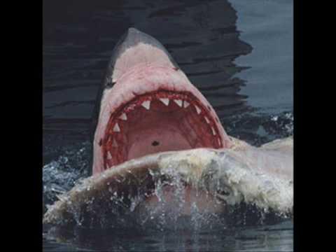 World Record HUGE Sharks
