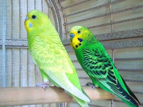 Lovely Parakeets Budgies Kissing & Grooming. Love Birds Kisses.