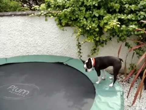 Boston Terrier bouncing on trampoline