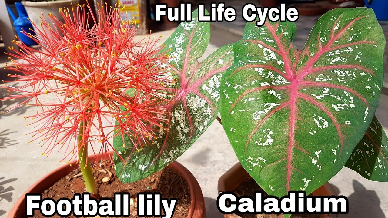 Full life cycle of bulb lily how to grow football lily how to full life cycle of bulb lily how to grow football lily how to grow caladium izmirmasajfo