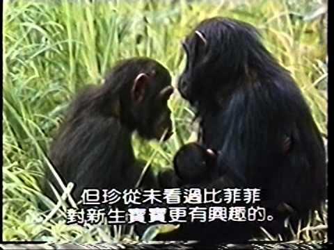 珍古德與黑猩猩2