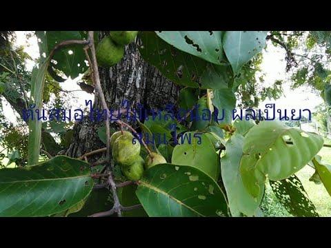 ต้นสมอไทย(ผลเด่นเรื่องสมุนไพร)