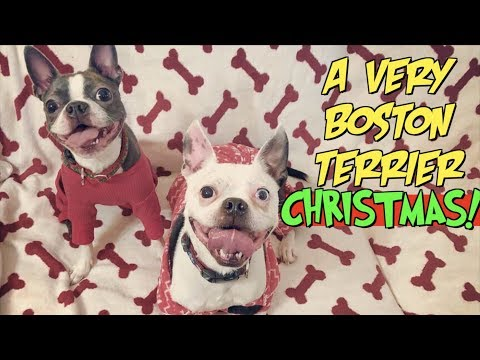 A very BOSTON TERRIER Christmas | Dogs open their Christmas presents