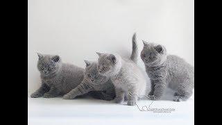 Милота! британские котята. Музыкальный релакс.