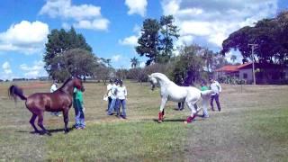 Arabian horse - Haras Engenho -Brazil - Hylan