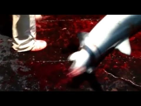 Shark finning in Iceland  **graphic**