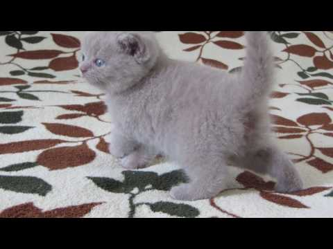 вислоухая кошка фото лиловая британская