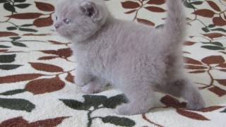 шотландские котята. кошечка лиловая страйт Anika Violet