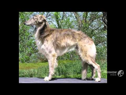 Silken Windhound Dog breed