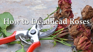 How To Deadhead Roses.
