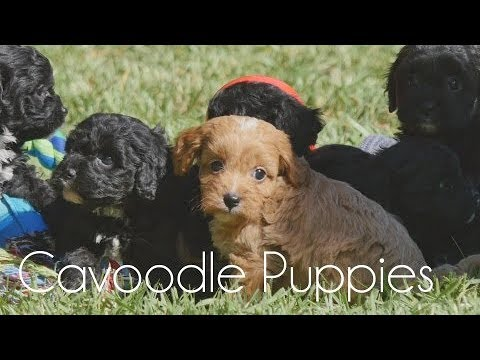 Black and Red Cavoodle puppies!!