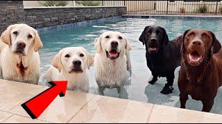 Labrador Lucy Surprises Her Parents and Uncles!!