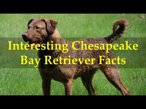 Interesting Chesapeake Bay Retriever Facts