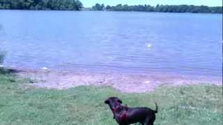 Woody The Chocolate Lab Playing Ball In George Lake Near Mankato Mn.