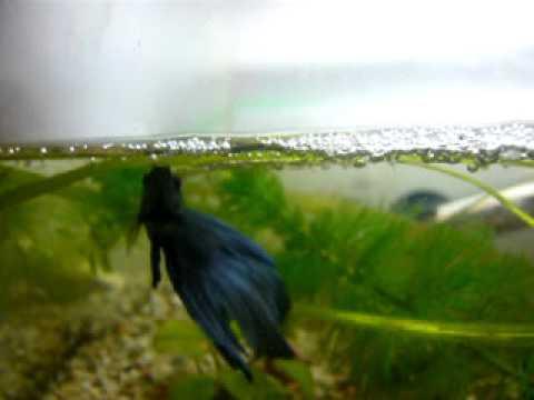 Kampffisch Brutpflege im Schaumnest Blue  YouTube