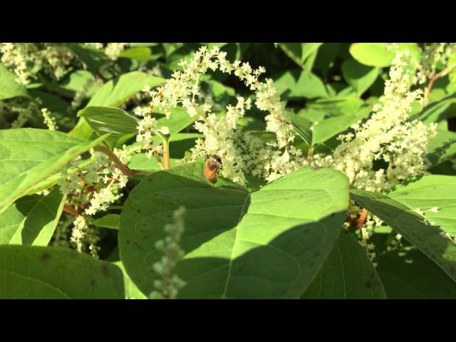 Japanese Knotweed gives us the best tasting honey in Maine