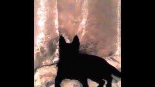 Черная собака № 2