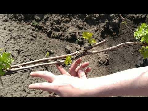 Обломка зелёных побегов на годовалом рукаве винограда. Зелёные операции.