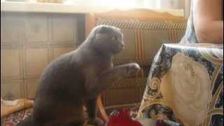 Британский вислоухий котик говорит