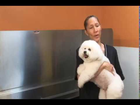 How to groom a Bichon Frise: Part 1 | The Dog House Pet Salon